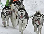 Una muta di husky, uno dei cani più utilizzati per il  traino delle slitte (Ansa)
